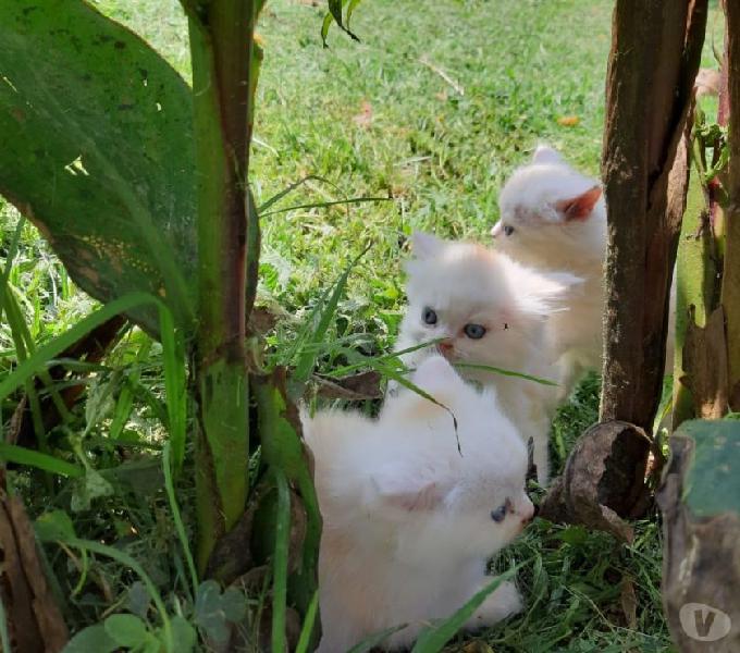 Bulldog frances,shitzu hembras y machos,gatos persas 0