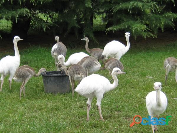 Huevos de avestruz, emú huevos huevos rhea y sus polluelos
