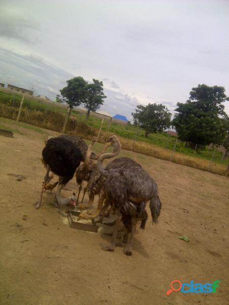 Huevos de emú, huevos de avestruz, huevos de ñandú y sus polluelos