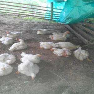 Pollos campesinos - pereira