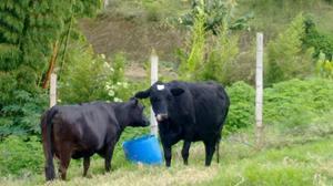 Vacas lecheras en gestacion - manizales