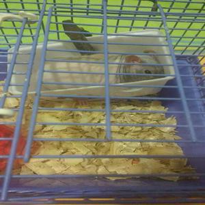 Hamster rata egipcia - bello