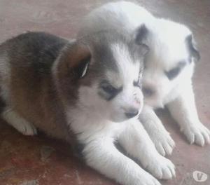 Venta cachorros husky siberian