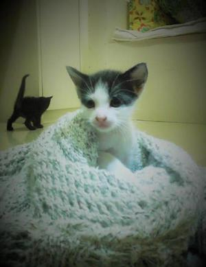 Adopta un gatito / adopción, gatos, mascotas, perros,