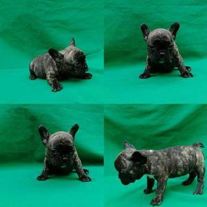 Bulldog francés hembra barcina - envigado