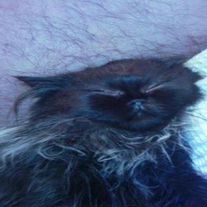 Gato persa himalayo.tres meses - bogotá