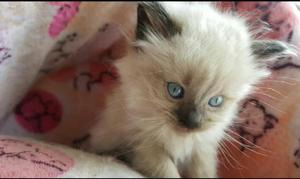 Gatos siames - bogotá
