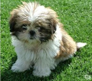 Tiernos cachorros shitzu mini garantizados