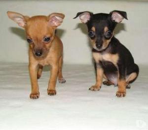 Pincher mascotas garantizadas y disponibles