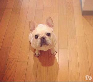 Bulldog frances tenemos disponibles crema o fawn