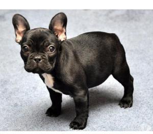 Disponibles exelentes bulldog frances cachorros