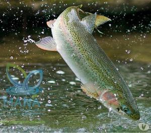 Mojarra tilapia anuncios septiembre clasf for Criar mojarras en casa