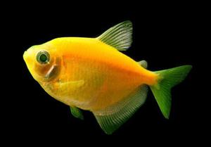 Pez monja fluorescente amarilla, fuscia, verde