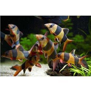 Pez botia payaso importada para acuarios comunitarios