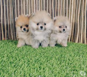 Pomerania disponibles cachorros favorables