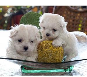 Tiernos bichon maltes cachorros garantizados