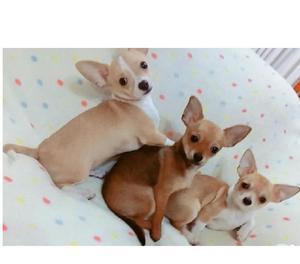 Chihuahua unicos y hermosos para entrega
