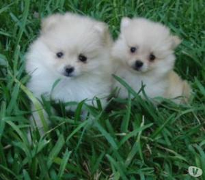 Disponibles unicos pomerania cachorros hermosos