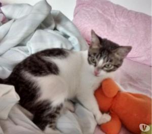 Gato criollo de 5 meses