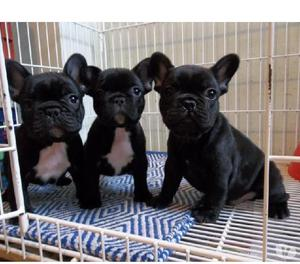 Lindos bulldog frances cachorros favorables