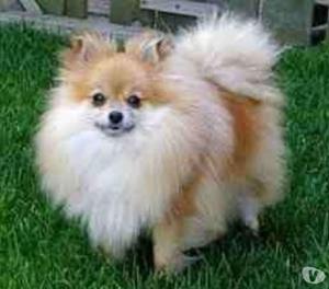 Lindos pomerania cachorros garantizados