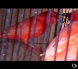 Se venden aves ornamentales