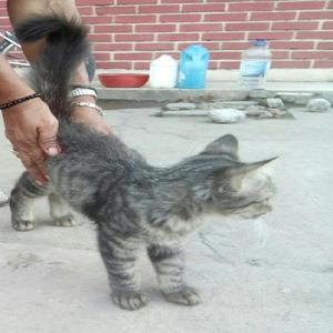 se da en adopcion hermosa gatita tigrilla enrasada con