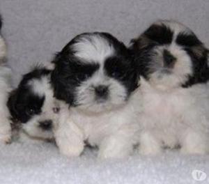 Divinos shitzu cachorros garantizados