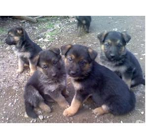 Pastor aleman disponibles cachorritos