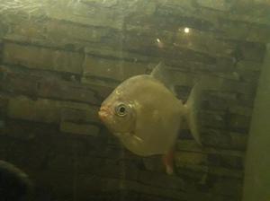 Peces gancho rojo clasf for Vendo peces