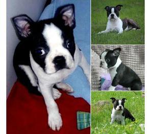 Activos y vivaces cachorros boston terrier