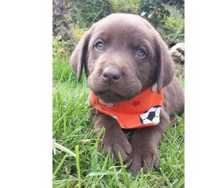 Labradores chocolate y dorados cachorros