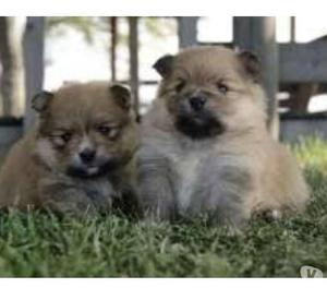Lindos pequeños pomerania cachorros