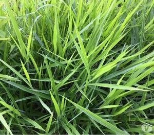 Venta semilla de todas las brachiarias excelente calidad