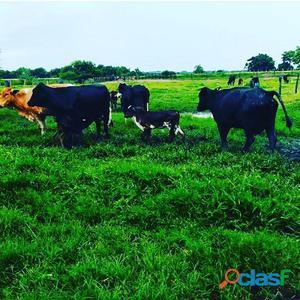 Vacas lecheras de 10 a 15 litros