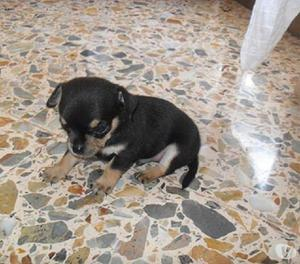 Cachorros en venta pincher mini disponibles