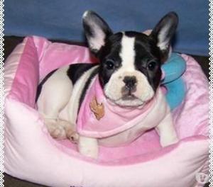 Bulldog frances en venta medellin hermosos ejempalres