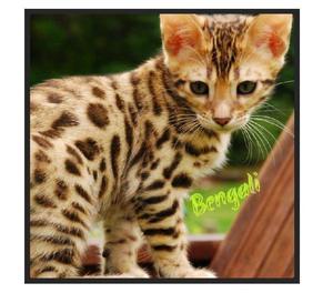 Machos Gatos Bengali Hermosos A Buen Precio