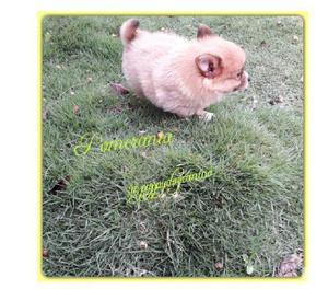 Ofrecemos pomerania mini cachorros disponibles