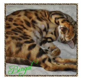 Una Garantizada raza Gatos Bengali Disponibles