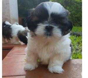 Tiernos cachorros en venta shitzu miniatura