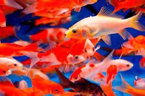 Pez Goldfish Para Acuarios Y Estanques