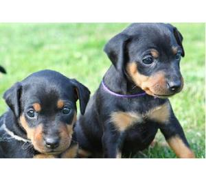 Favorables Dobermann Cachorros Disponibles Hermosos