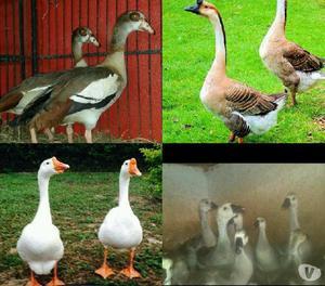 Venta de aves de diferentes especies
