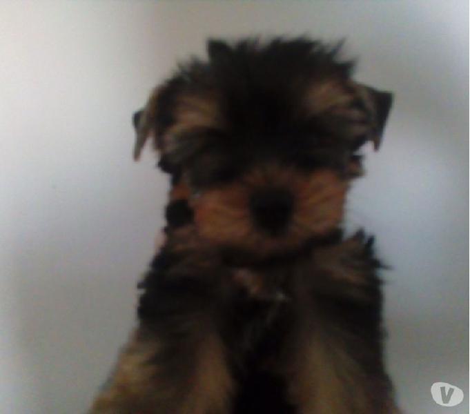 Excelente cachorros yorkshire mini