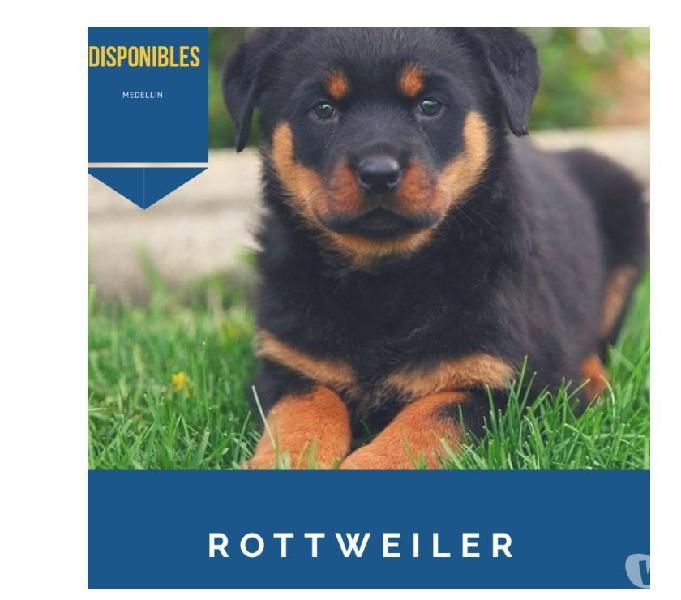 Llegan los más lindos rottweiler cachorros