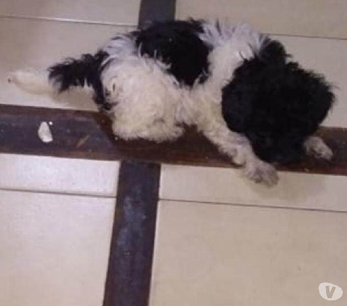 Cachorros french poodle manchados