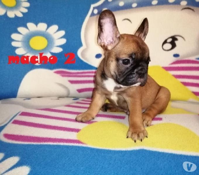 Bulldog francés macho color sable pura raza disponible.