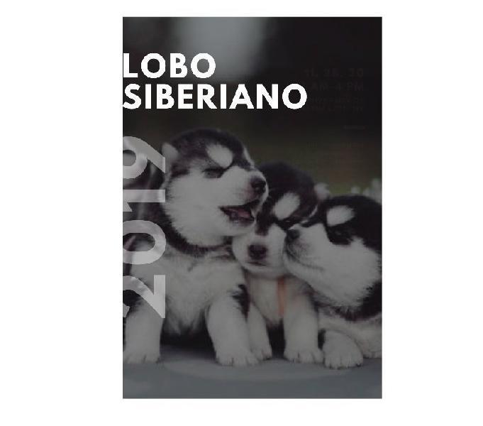 Nicos lobo siberiano cachorros garantizados