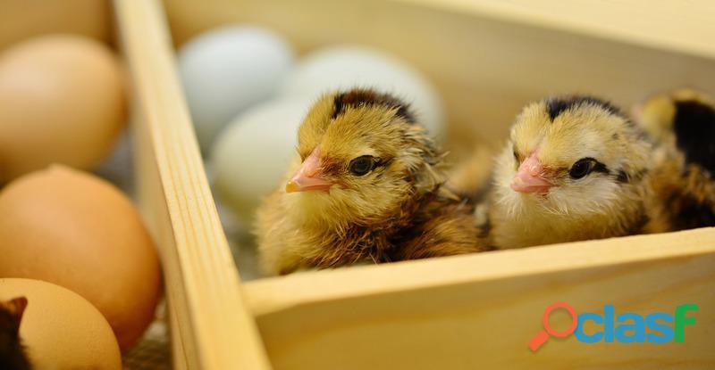 Pollos campesinos machos ( 1 día)